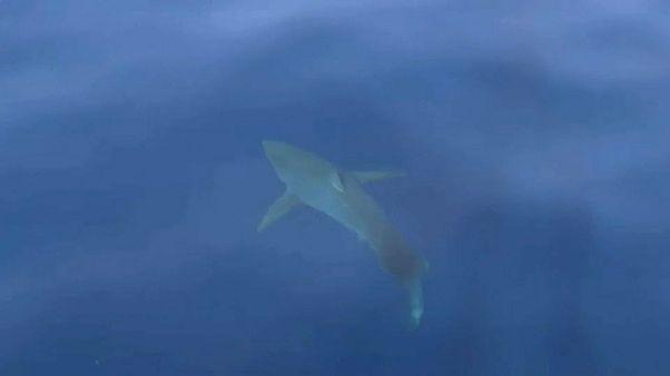 Un grand requin blanc au large des Baléares