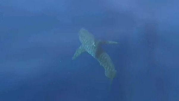 Nagy fehér cápa Mallorcánál