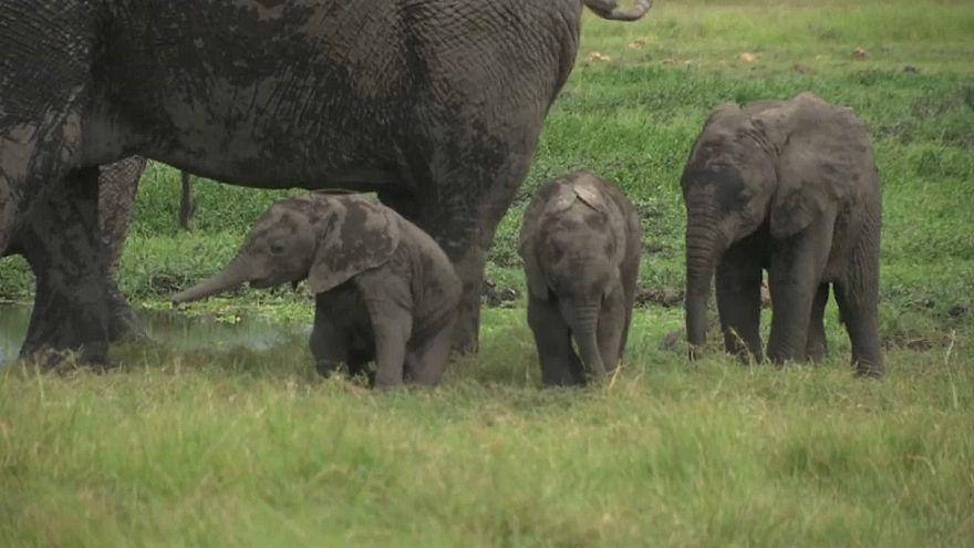 Zwillingsnachwuchs im Elefantenreservat