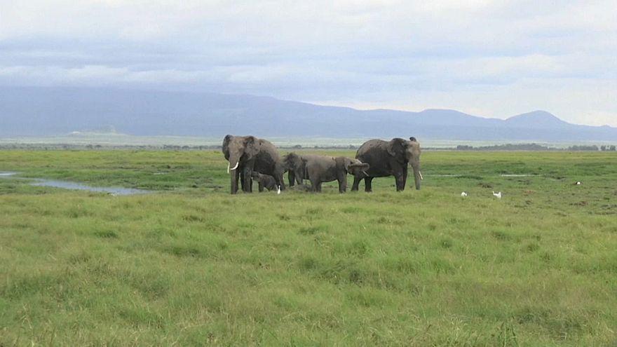 Rare twin elephant calves have been born at Amboseli National Park, Kenya