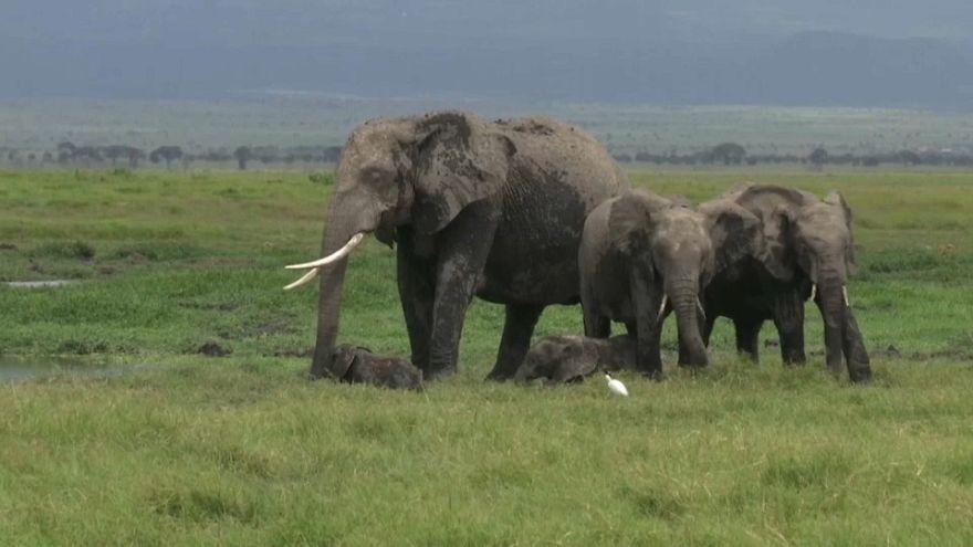 ولادة نادرة لتوأم من الفيلة في كينيا