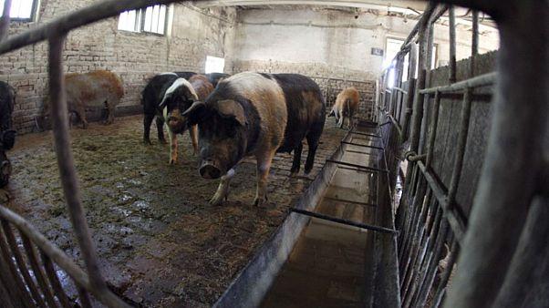 مزرعة للخنازير بالقرب من العاصمة الرومانية بوخارست