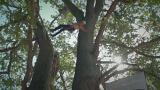 European Tree Climbing Championship takes place in Thoiry, France