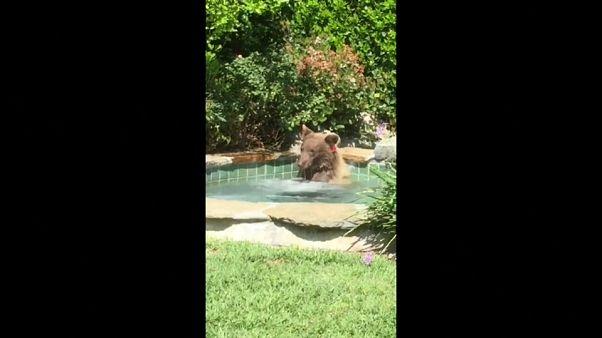 الدب وهو يلهو في حوض الجاكوزي