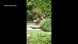 Medve lógott be egy ház medencéjébe