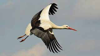 White storks are increasing in numbers in several EU states.