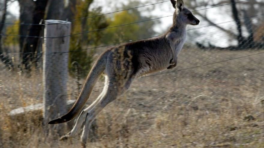Desenvolvimento humano prejudica cangurus