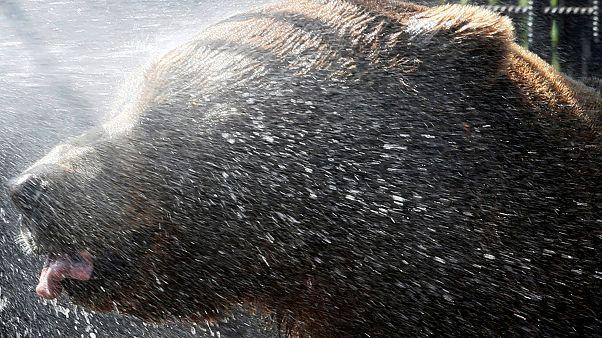 Kaliforniya'da bir ayının jakuzi ve margarita keyfi