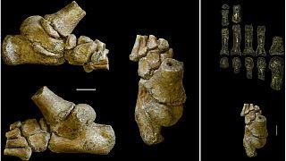 'Australopithecus afarensis' türüne ait 3,3 milyon yıllık ayak kemiği