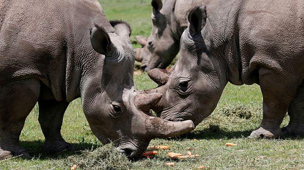 File photo of northern white rhinos in Kenya