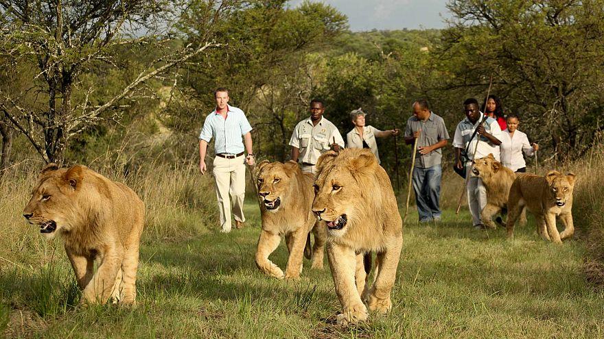 أسود تفترس صيادي وحيد القرن في جنوب إفريقيا