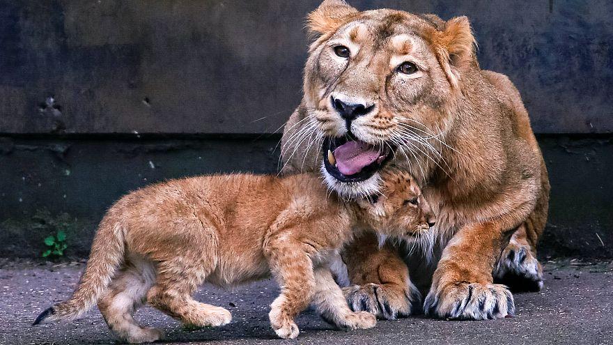 Löwen in einem Zoo in Belgien