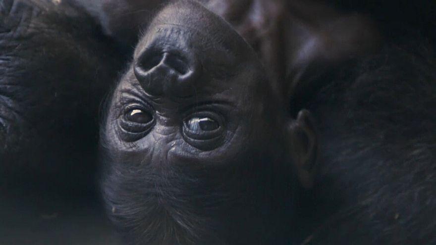 Gorila bebé é o primeiro em 20 anos no zoo de Dallas