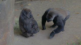 Gorilla született a dallasi állatkertben
