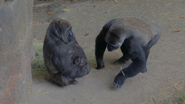 Naissance d'un bébé gorille au zoo de Dallas