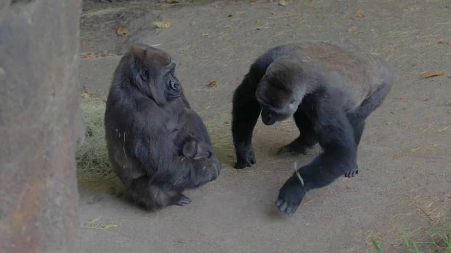 Un nuevo gorila en el zoo de Dallas