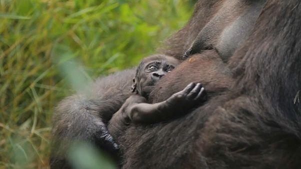 Пополнение в семье далласских горилл