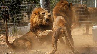 Λιοντάρια κατασπάραξαν λαθροθήρες ρινόκερων