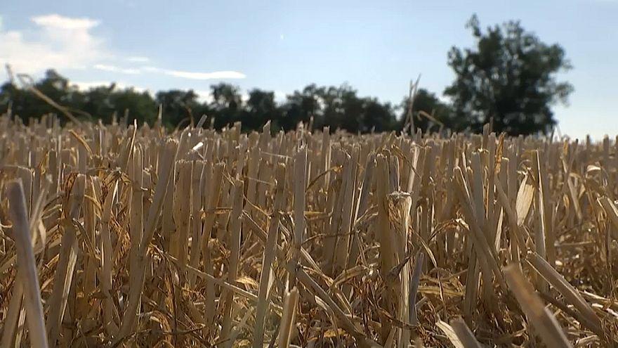 Extreme Dürre: Deutsche Bauern fürchten um ihre Existenz