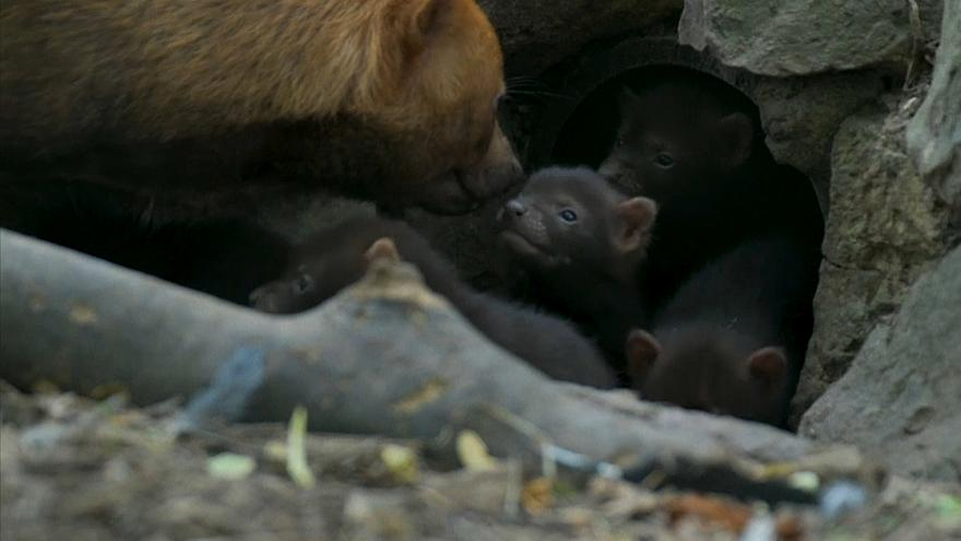 حديقة بريطانية تحتفي بستة كلاب جدد من فصيل مهدد بالانقراض