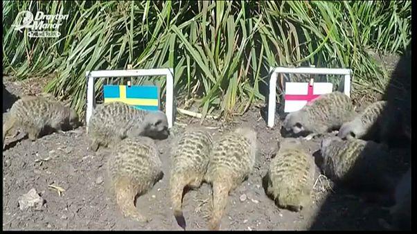 حيوان السرقاط يتنبأ بنتيجة مباراة انجلترا والسويد