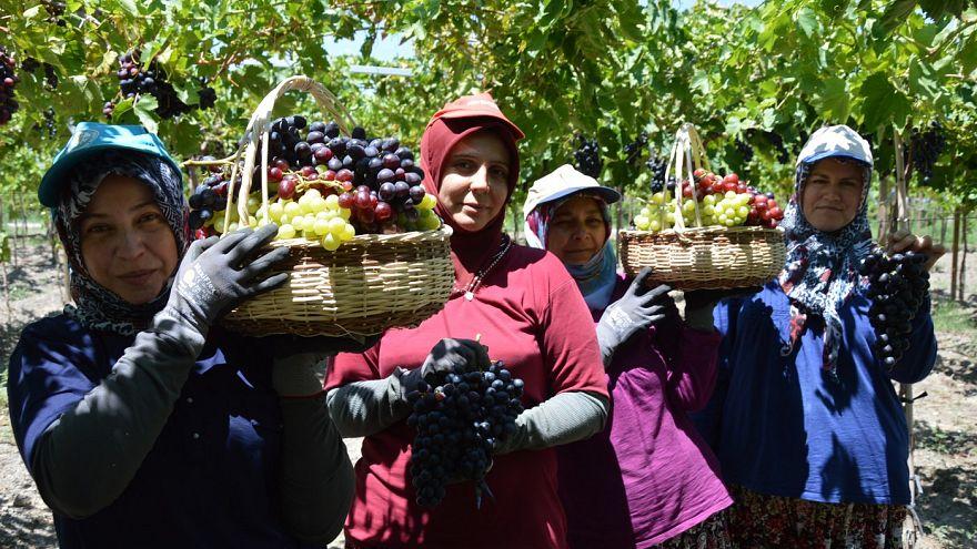 Türkiye'nin üzüm ambarı Manisa'da hasat hareketliliği