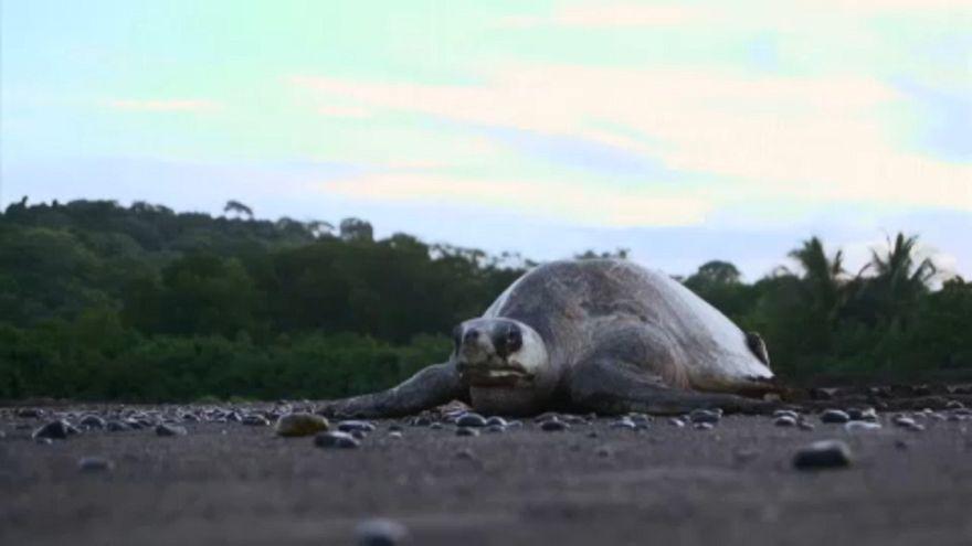 A teknősök érkezését ünneplik Costa Ricán