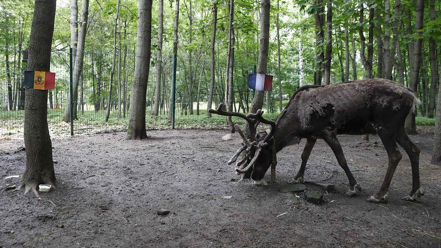 ماذا تنبأت أنثى غزال الرنة بشأن الفائز في مباراة فرنسا وبلجيكا؟