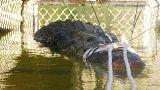 Avustralya'da 5 metrelik timsah yakalandı