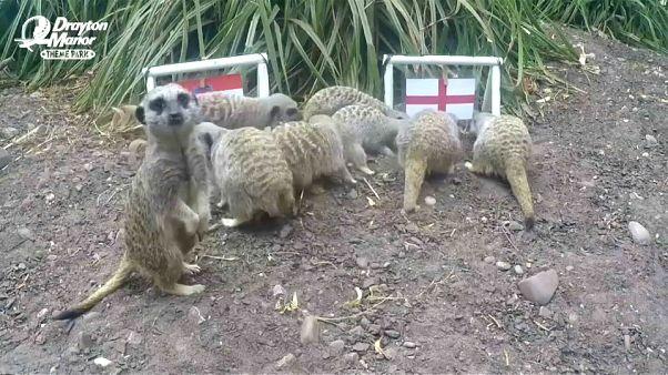 حيوانات السرقاط تتوقع الفائز بمبارة أنجلترا وكرواتيا