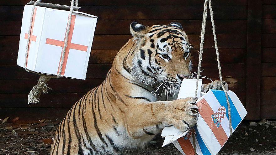 La Croatie victorieuse face à l'Angleterre... selon un tigre russe