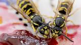 Can you really be fined €50,000 for killing a wasp in Germany?