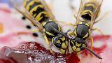 Germania, è possibile ricevere 50mila euro di multa per aver ucciso una vespa?