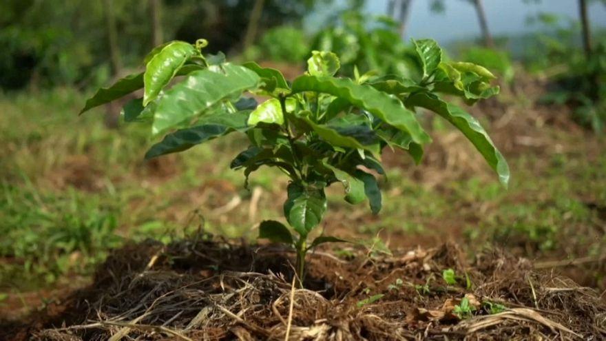 O café para a reflorestação no Monte Gorongosa