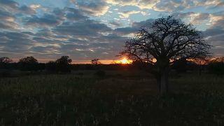 Baobab, une lente agonie