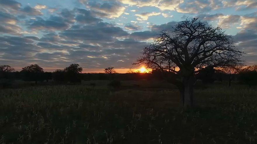 Sudafrica: la lenta agonia dei baobab