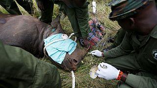 مرگ کرگدنهای کمیاب پس از انتقال به منطقه محافظت شده