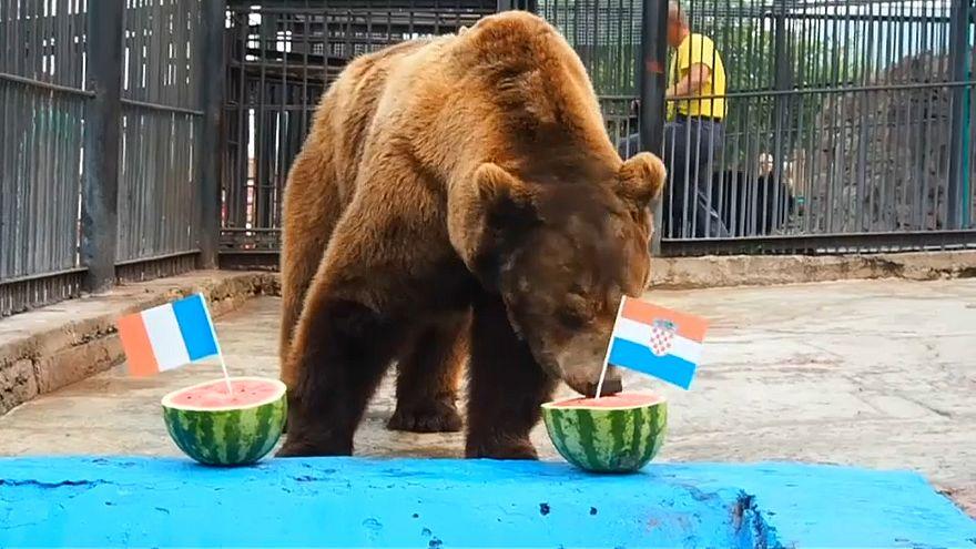 شاهد: الدب بويان يأكل بطيخة كرواتيا ويتوقع فوزها بالمونديال