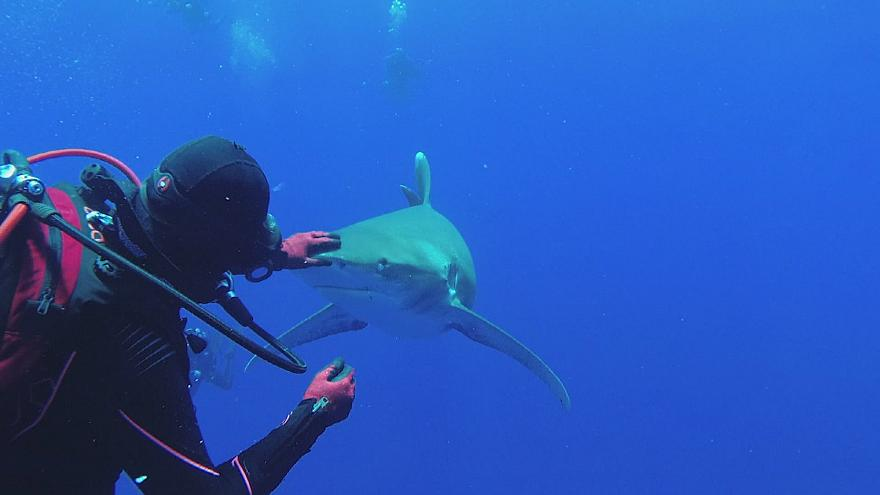Diver and shark enthusiast skilfully removes hook from white tip sharks jaw