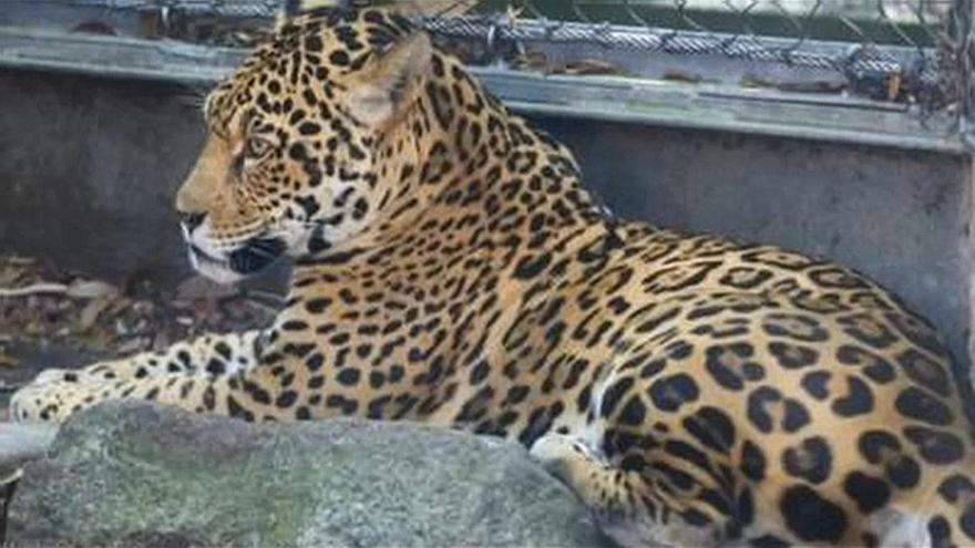 نمر يهرب من مدربه في حديقة حيوانات نيو أورليانز ويفترس ستة حيوانات