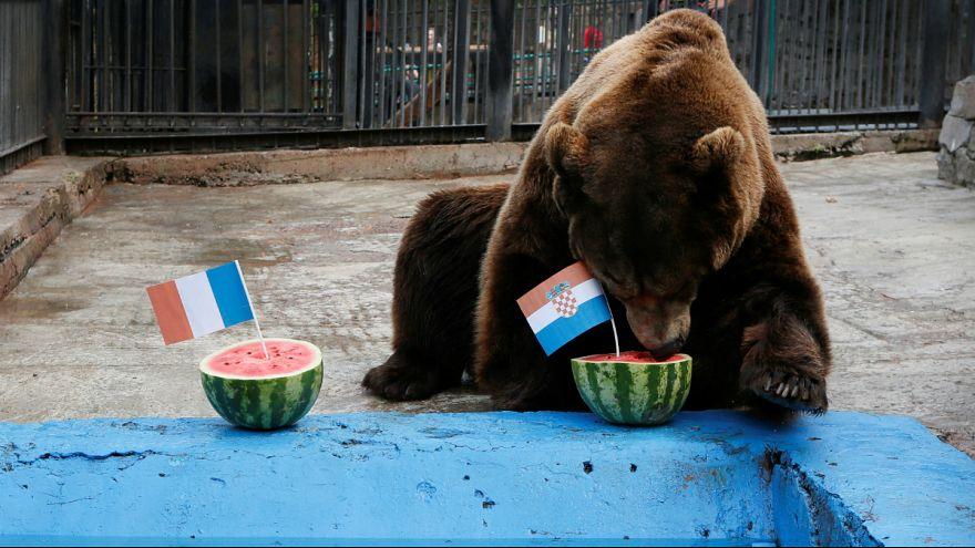 پیشبینی «بویان»، خرس سیبری: کرواسی برنده بازی فینال جام جهانی روسیه