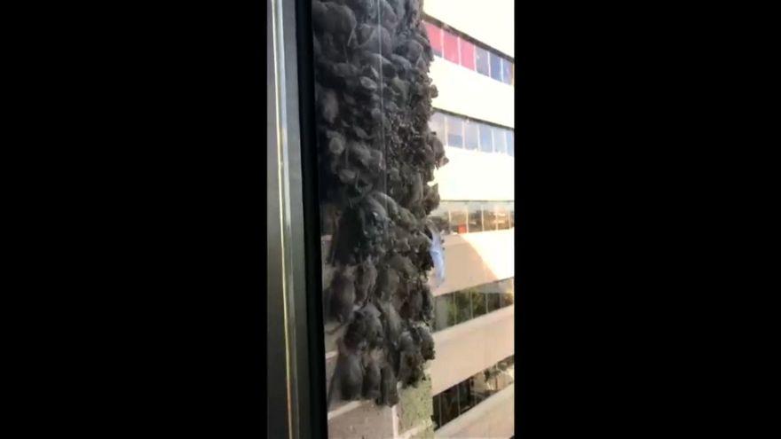 شاهد: خفافيش مهاجرة تكسو جدران مكتباً في هيوستن