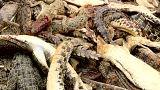 شاهد: مذبحة تماسيح على يد قرويين غاضبين في إندونيسيا