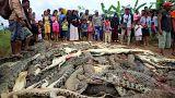 Bir kişinin parçalandığı timsah çiftliğinde katliam: 292 timsah öldürüldü
