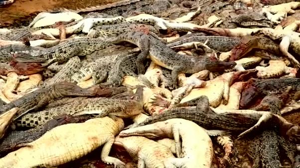 Matanza de cocodrilos por venganza en Indonesia
