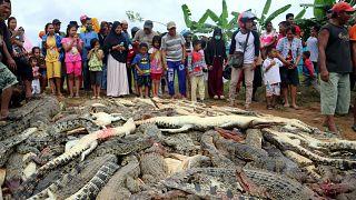 Matanza de 300 cocodrilos en Indonesia por venganza