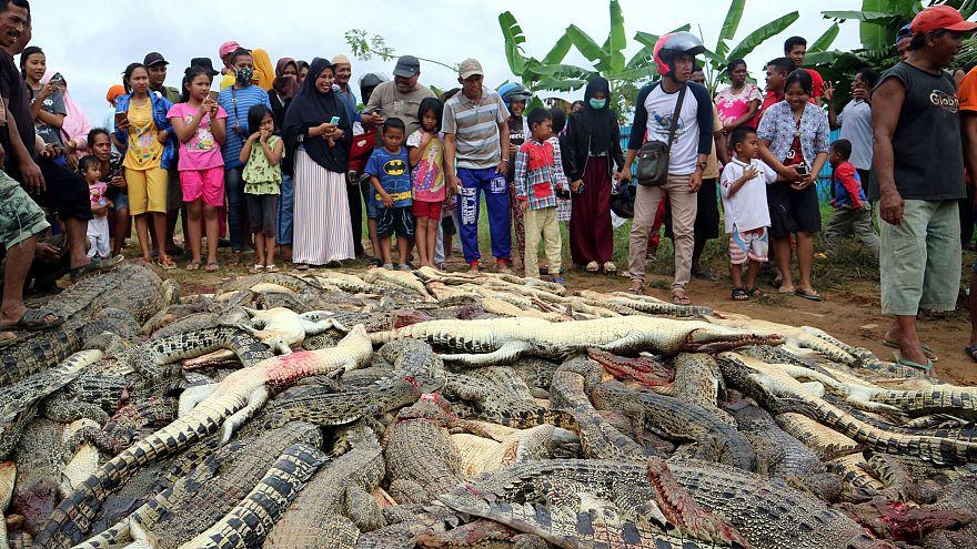 300 krokodilt mészároltak le Nyugat-Pápuán