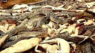 Σκότωσαν 300 κροκόδειλους για εκδίκηση