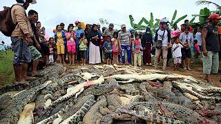 کشتار صدها تمساح در اندونزی