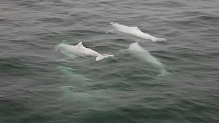الدلافين النادرة مهددة بجسر يربط هونغ كونغ بالصين